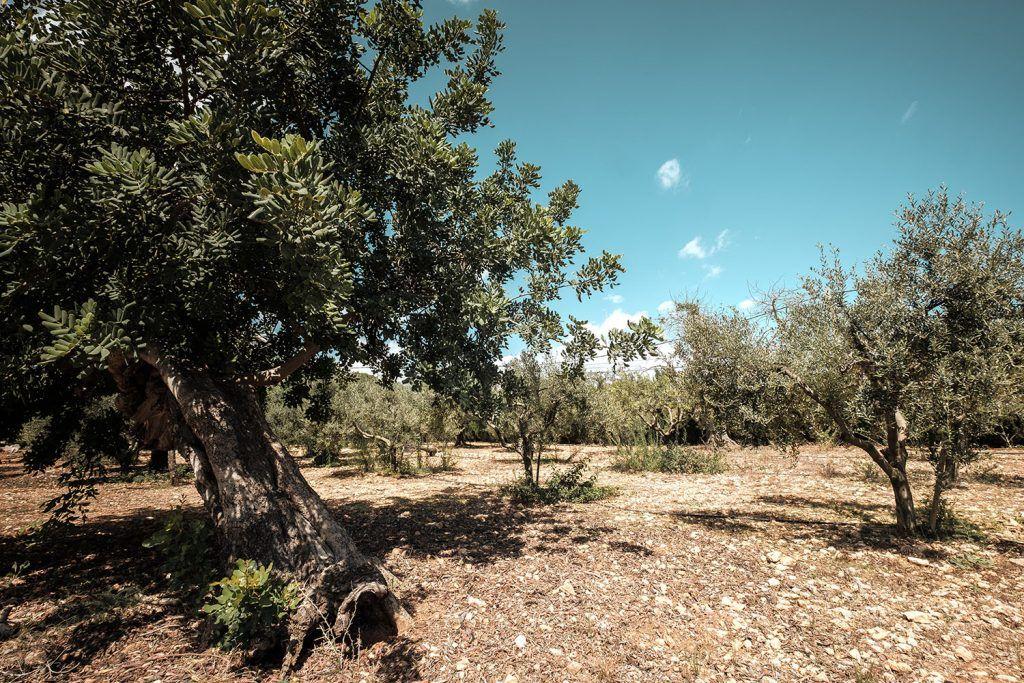 S'Horta d'Avall. Árboles y campos de la finca.