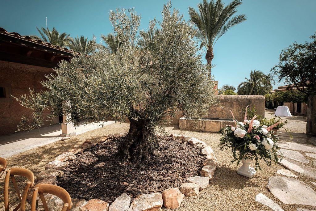 S'Horta d'Avall. Olivo y decoración floral para ceremonia.