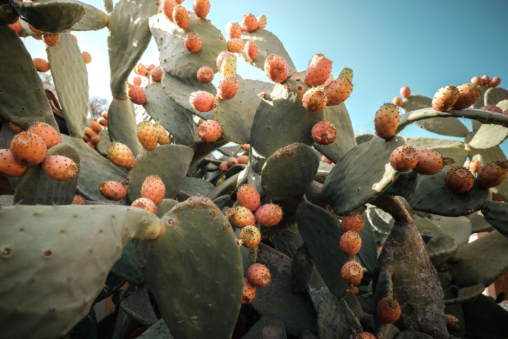 Cactus. Chumbera al sol.