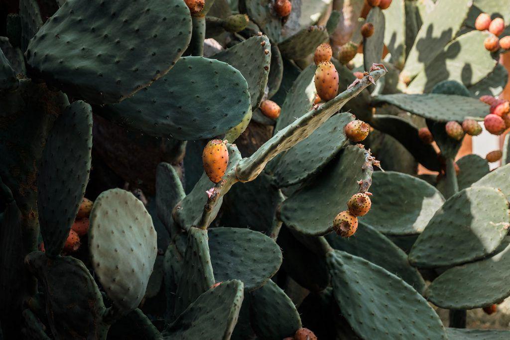 Cactus. Chumbera